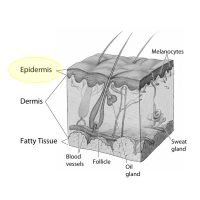An illustration of skin layers epidermis.