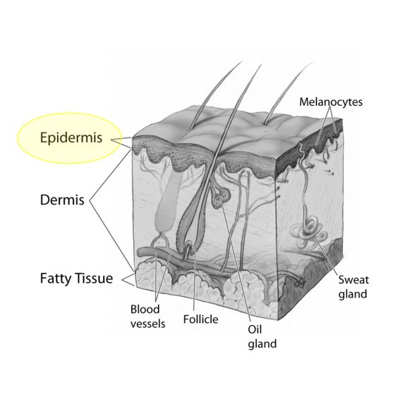 An illustration of skin layers epidermis.